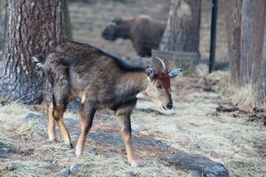 Royal Takin Preserve 1/undefined by Tripoto