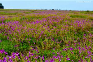 Kaas, The Enthralling floral Plateau.