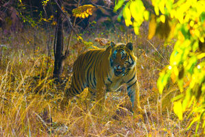 Tadoba National Park- Land of The TIGERS