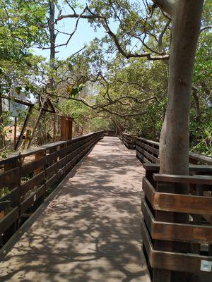 Mangrove board walk and bird nesting Panjim goa.