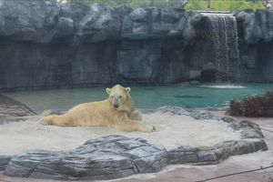 Inuka - World's first and only polar bear to be born in the tropics