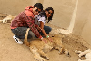 Date with African Lions!