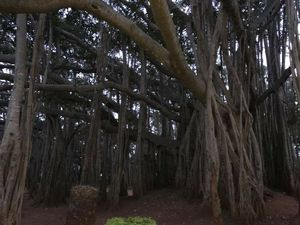 A NICE (road) Trip to The Big Banyan Tree.