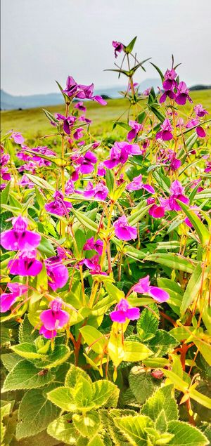 Valley of flowers: Kaas Plateau