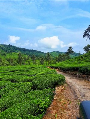 Scenic beauty of a tea estate