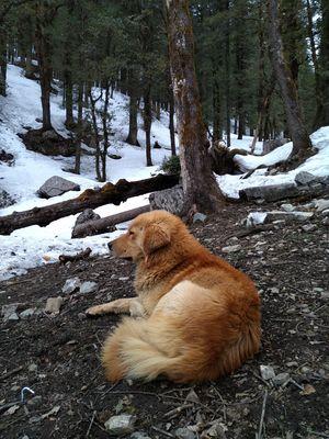 1. Indigenous Mastiff or Himalayan Guard Dog