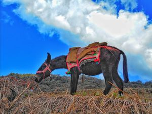 Mule porter taking some rest before resuming for his long, bulky journey. #TripotoinDU
