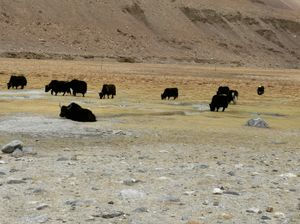 wild yaks of ladakh, on the way to changla pass from nubra valley...