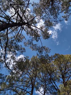 Scintillating Pines