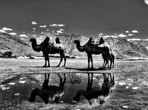 Double hump backed camels on Nubra, Ladakh