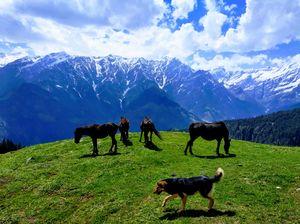 Four horses and 'Jhumru' the dog