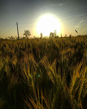 Haryana : Sunset view with Green wheat fields