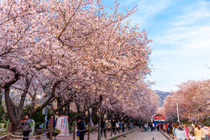 Cherry Blossom in Busan, South Korea is affordable and as beautiful and picturesque as Japan.