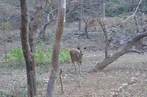 When tiger calls - Ranthambore National Park