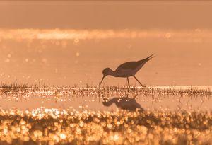 Black Winged stilt in golden hour
