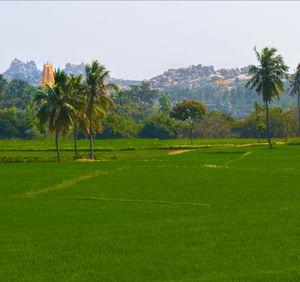 Ruins of hampi peeking from lush green fields