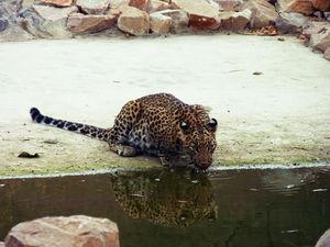 Jhalana- Leopard Safari