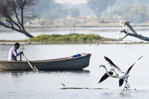 Magnified beauty! Visit Chandlai Lake during January/February to see Greater Flamingos.(Jaipur)