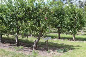 APPLE FARM IN Mount Gambier, Australia  #colourgreen