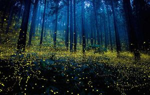 Mating Fireflies And The Sparkling Western Ghats