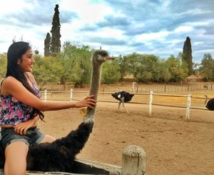 Ostriches are large flightless birds majorly found in Africa and riding them is a must try.