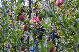 Apple garden harsil