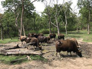 When you spot wild bison