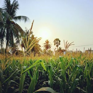 Paddy fields during sunset at RAJAHMUNDRY.. Best place to get HOSPITALITY and feel the fresh air
