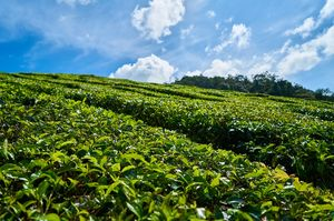 Enjoy Luxury and Hospitality at India's oldest Tea Estate