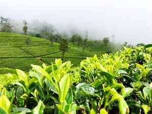 This monsoon visit the scenic tea gardens of Samsing