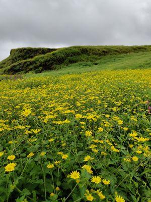 Carpet of Yellow Flowers Near Pune (Korigad Fort)