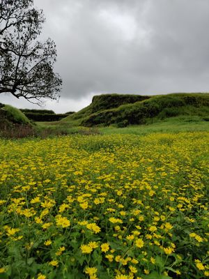 Yellow Carpet of Flowers Near Pune (Korigad Fort)