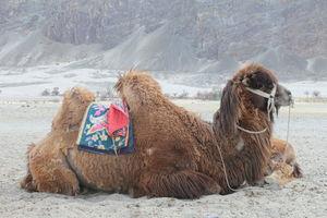 NUBRA TOUR: KHARDUNGLA PASS, DOUBLE HUMPED CAMELS OF HUNDER, DISKIT MONESTARY (LADAKH)