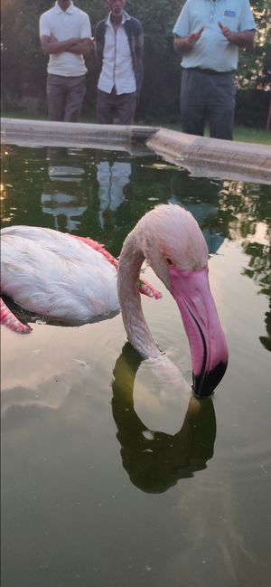 flamingos the Australian bird