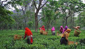 Tea Plantation 1/3 by Tripoto