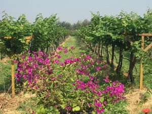 Sula Vineyards – Learning the Wine Culture
