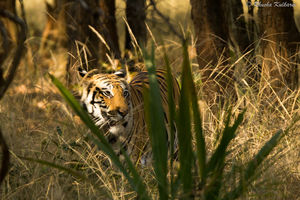 On the Trail of the Big Cat in Bandhavgarh