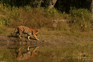A Roaring Invite to Kanha Tiger Reserve