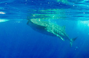 Swim With The Whale Sharks For Just Rs 1300!