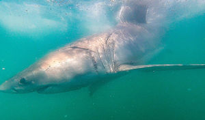 Will You Do the Shark Cage Diving in South Africa?