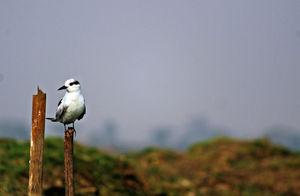 Manglajodi wetlands of Chilika Lake : A paradise for bird lovers - Soul Esplanade
