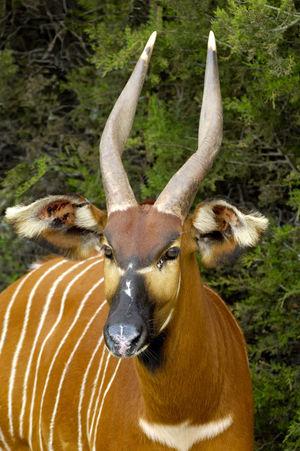 Tragelaphus eurycerus: Bongo