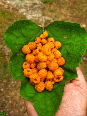 Picking wild berries in Sangti