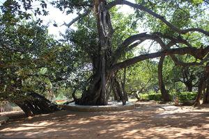 Pillala Marri (Banyan Tree) – 800 years and counting!