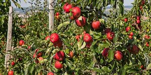 With Apple Season Knocking at the Door-Plan Your Orchard Tour at these Places in North India