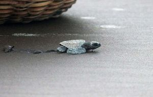 Watching the newborn Turtle take their first step in Velas, Maharashtra