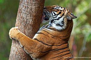 Tiger Watch  1/1 by Tripoto