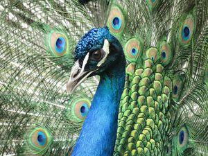 Walking with Peacocks - The Bankapura Peacock Sanctuary
