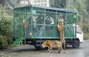 This Zoo In China Lets The Animals Roam Free While The Humans Are Caged!