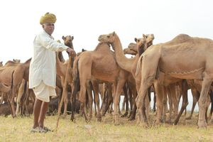 Pushkar Mela : The Lively Affair
